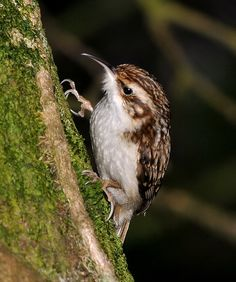 I saw one of these going about its business last week, they scamper up trees until around head-height then launch themselves onto the next in search of food. Fascinating little things. Treecreepers that is. This isn't my image.Treecreeper | Flickr - Photo Sharing!