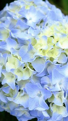 Light Blue Flowers, Turquoise Flowers, Flower Lights, Hydrangea Boutonniere, Blue Boutonniere, Wholesale Flowers Online, Order Flowers Online, Giant Flowers, Fall Flowers