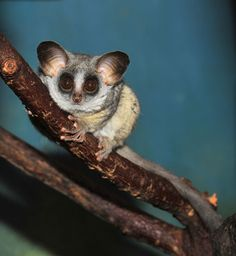 Lesser Bush Baby (Lesser Galapago)-soft little nocturnal primate that is the size of a squirrel & dwells in the trees of East & Sub-Saharan Africa.