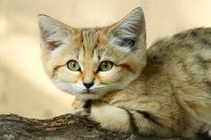 Photograph Sand Cat by Mickey   on 500px