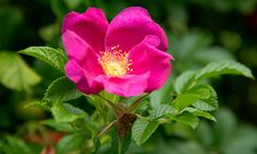 Rosa Rugosa One of the best hip-producing roses. It makes a great hedging plant, loved by wildlife and hated by burglars. Photograph: GAP Photos/Rachel Warne