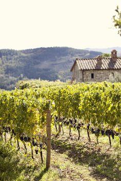 Sangiovese vineyards | Chianti, Italy
