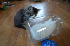 My kitten likes to 'hide' in this jar, and her brother is confused! - Imgur