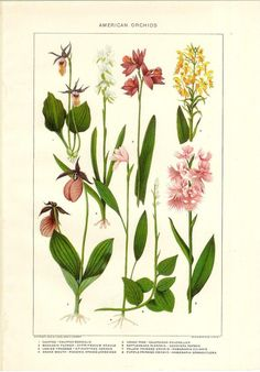 american orchids