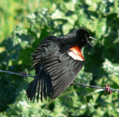 Declining, Tri-Colored Blackbird Numbers Are Dropping Fast by Louis Sahagun