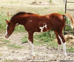 RHOCKEFELLER ~ Chestnut Sabino Arabian with wing marking, high stockings, and a baldface.