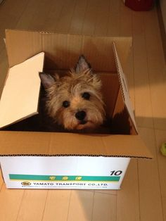 Cairn terrier in box Cairn Terriers, Terrier Breeds, Terrier Mix, Terrier Dogs, Norfolk Terrier, Norwich Terrier, I Love Dogs, Cute Dogs, West Highland Terrier