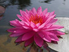 https://flic.kr/p/NfkznX | Nymphaea 'Siam Beauty' Hardy Waterlilies 3 | สยามบิวตี้ บัวฝรั่งสัญชาติไทย