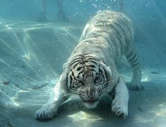 Tigers can be vicious under water