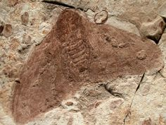 Roughly 125 million year old Lepidoptera (moth) fossil from the Yixian Formation, Chao Yang, Liaoning Province of China.