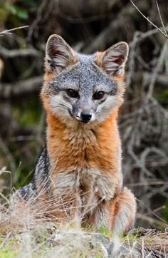 Channel Island Fox - Urocyon littoralis catalinae | Catalina Island Conservancy