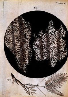 (mimosa sensitiva, bottom detail)  copperplate engraving in micrographia  robert hook, 1665