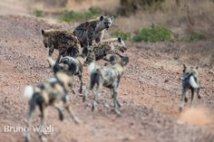 A group of hyenas try to cheat a pack of wild dogs out of their impala meal.