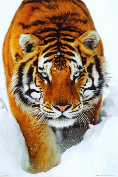 Tiger Snow Print from AllPosters.com
