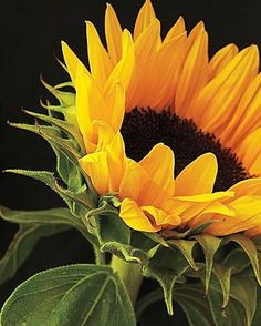 Shane McDermott Sunflower Photography H x W Frame: H x W Happy Flowers, Flowers Nature, Beautiful Flowers, Sunflower Photography, Nature Photography, Pictures To Paint, Nature Pictures, Vincent Willem Van Gogh, Sunflowers And Daisies