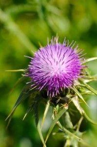http://www.complementonatural.com/blog/cardo-mariano-para-un-higado-fuerte-y-sano/ - El cardo mariano es una planta de flores, originario de Europa, que se ha utilizado desde la época de los emperadores romanos como un tónico para el hígado. #cardomariano #higado #cardo