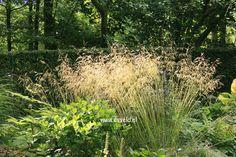 Deschampsia cespitosa 'Goldschleier' - prairie border - 120 cm