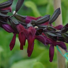 Buy Salvia x 'Raspberry Truffle'