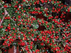 Cotoneaster dammeri is a fast growing creeping shrub and an excellent groundcover for establishing on slopes and dangling over walls. Small fragrant white flowers appear in late spring, followed by bright red berries in autumn.