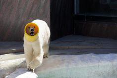Ueno Zoological Gardens Polar bear Dea