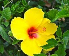 The beautiful Yellow Hibiscus. Brings beauty to any scene. See clearer through a healthier body get Organifi.