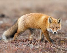 Red Fox by Руслан Кошурба on 500px