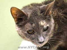 TO BE DESTROYED 11/13/14 * SENIOR ALERT! Manhattan Center * Was relaxed enough to eat during intake and when touched had soft body and nuzzled hand. Time Wizard interacts with the observer, appreciates attention, is easy to handle and tolerates all petting. *   My name is TIME WIZARD. My Animal ID # is A1020213. I am a spayed female tortie domestic sh mix. I am about 10 YEARS old.   OWNER SUR on 11/05/2014 from NY 10025, DOHREQUEST. Group/Litter #K14-200907.