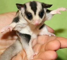mosaic sugar gliders for sale | pets gliders for you gliders for sale in georgia tennesee alabama ...