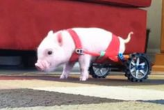 Piglet Chris P. Bacon charms online viewers in makeshift wheelchair