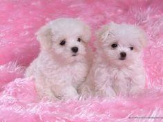 Estos son dos perritas bebes iguales en una alfombra rosa