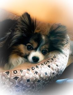 49 Best Papillons images in 2019 | Animaux, Adorable puppies
