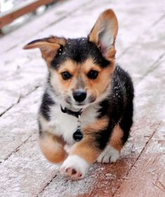 Corgi Puppy Running With Ears Flopping Around.
