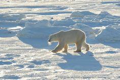 We need to preserve this nature Polar Bears International, Cute Funny Animals, Spirit Animal, Animal Kingdom, Cubs, Preserve, Nature, Snow, Chow Chow