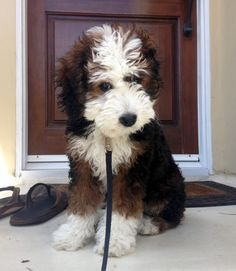 Bernese Mountain x Poodle puppy ... I think