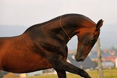 Perengistan (Akhal Teke Stallion at tekehorse.com)