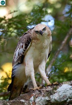 Diều mào/Diều đầu nâu tiểu lục địa Ấn Độ và Đông Nam Á | Crested hawk-eagle/Changeable hawk-eagle (Nisaetus cirrhatus)(Accipitridae) IUCN Red List of Threatened Species 3.1 : Least Concern (LC) | (Loài ít quan tâm)