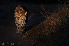 It is always great to spend time with these magnificent animals, to be able to visit areas where leopards allow us a gimps into their otherwise secretive daily lives is such a privilege. The Sabi Sands Game reserve is one such reserve where these awesome animals can be viewed on a regular basis, in turn providing unrivalled photographic opportunities.  This young female was stalking her sister lying in the grass just a head of her. Elephant Plains, Sabi Sand Game Reserve, South Africa