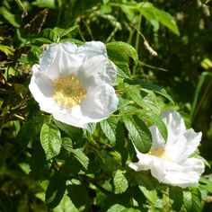 Rosa rugosa also comes in white. Stitch Patterns, Crochet Patterns, Shetland Wool, Pansies, Instagram Feed, My Design, Wildlife, Crochet Granny, Crochet Stitches