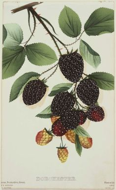 Dorchester blackberries by Unidentified artist, American, century Image and text courtesy MFA Boston. Botanical Drawings, Botanical Prints, Blackberry Plants, Blackberry Bramble, Illustration Botanique, Fruit Illustration, Fruit Art, Arte Floral, Nature Prints
