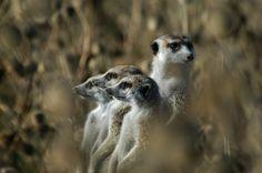 Meerkats on the lookout! African Animals, Kangaroo, Owl, Bird, Baby Bjorn, Birds, Owls, Kangaroos