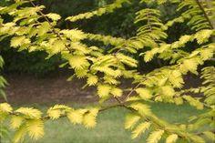 Gold Rush Dawn Redwood - Metasequoia glyptostroboides 'Gold Rush' - PNW Plants