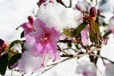 Ajánljuk: Az örökzöldek téli gondozására figyeljünk oda!, http://kertinfo.hu/az-orokzoldek-teli-gondozasara-figyeljunk-oda/, ezekben a témakörökben:  #Augusztusi #Díszkert #Díszkertinövény #Esővíz #Fák #Fenyő #Hó #Kert #Kertészkedés #Mag #Növény #Öntözés #Tanácsésötlet #Téli, írta: Édenkert.hu