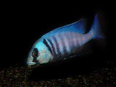 Placidochromis electra, one of the stunning sand-feeding Cichlids Malawi Cichlids, African Cichlids, Cichlid Aquarium, Aquarium Fish, Tropical Aquarium, Tropical Fish, Deep Water, Fresh Water, Aquarium Design