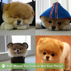 So adorable - Boo the Pomeranian Cute Baby Animals, Animals And Pets, Boo The Cutest Dog, Boo Dog, Pomeranian Boo, Puppies And Kitties, Cute Little Things, Cute Creatures, Puppy Love