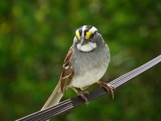 """white throated sparrow....a favorite of mine. it's song sounds like """"remedy"""" by the black crows"""