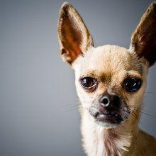 Lerretsbilde - Chihuahua Imitating Lama