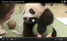 This Baby Panda is Too Cute as He Loves His Ball – Cuteness Overflow – Is there anything cuter than this baby panda? Comments comments More Cute Posts: Want a Job That You Will Love Everyday? Be a Panda Nanny! Waking Up With a Lot of Snow; Tian Tian Adorable Baby Panda's Playing on a Playground Slide Adorable Baby Pandas Babies and Animals, a Vision of Cuteness Awesome People and Amazing Animals Cutest Baby Turtles and Tortoises Baby Navann Baby Polar Bear's First Steps Hanging Out With...