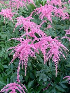 Astilbe Ostrich Plume  Bluestone Perennials  Shade, Bloom time: Early Summer