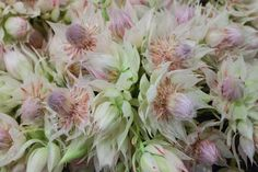 White and pink Blushing Bride at New Covent Garden Flower Market - July 2015