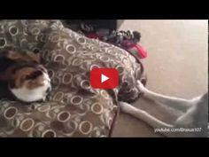 Gatos roubam caminhas dos cachorros. Veja o que acontece quando gatos se apossam das caminhas dos cachorros. #cats #gatos #clicknoplay #funny
